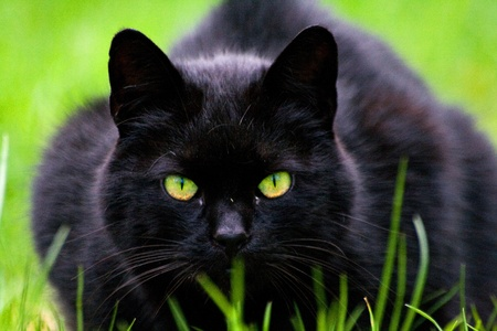 Black cat lying in the grass and looking at the watcher photo