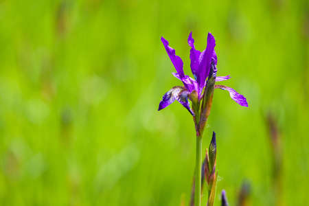 Violet iris on the green background