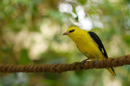 Golden oriole sitting on a rope