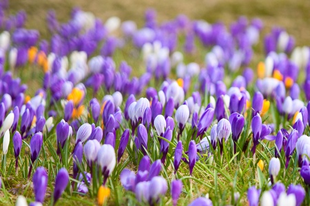 Mixed crocuses growing happily in the grass