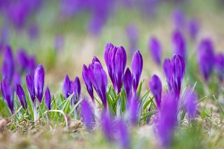Violet crocuses growing happily in the grass