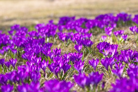Bunch of Violet crocuses in the grass