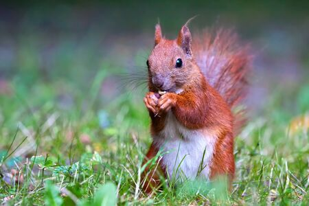 fluffy tuft: Red Eurasian squirrel looking at the watcher Stock Photo