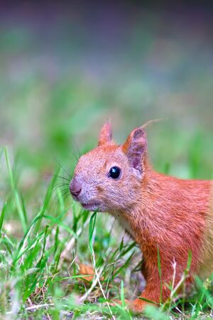 Red Eurasian squirrel looking at the watcher Stock Photo