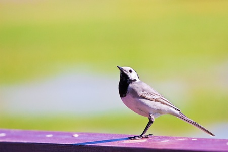 Black-backed wagtail ready to start photo