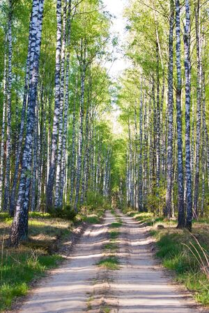 european white birch: European forest,  Poland,  Biebrza region