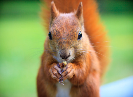 red squirrel: Red Eurasian squirrel eating a nut Stock Photo