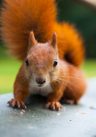 fluffy tuft: Red Eurasian squirrel eating a nut Stock Photo