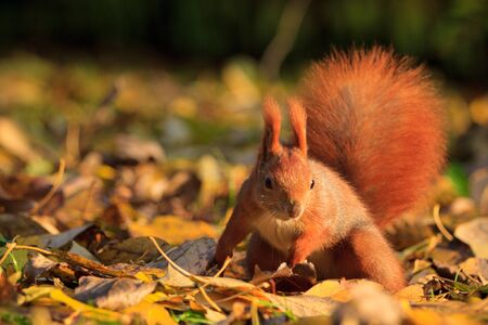 lazienki: Red eurasian squirrel in Warsaw park Stock Photo