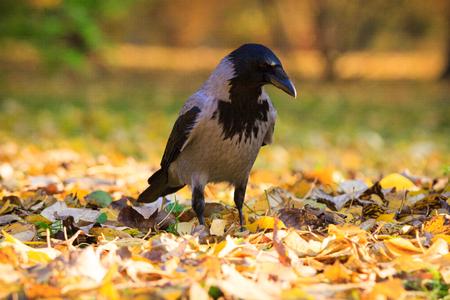 corvidae: Crow walking in the leaves in Warsaw park