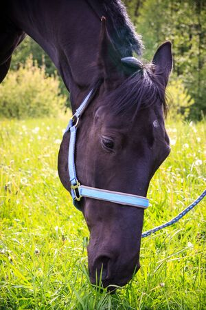 Black horse eating grass after sport training