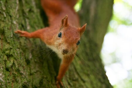 fluffy tuft: Red Eurasian squirrel sitting on the tree