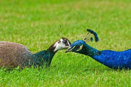 common peafowl: Pair of peacock kissing