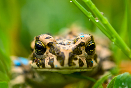 croak: Green frog sitting in the grass Stock Photo