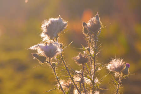 thistle plant: Thistle plant with the spider web