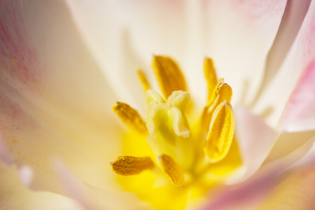 Macro photo of a tulip flower in a full bloom