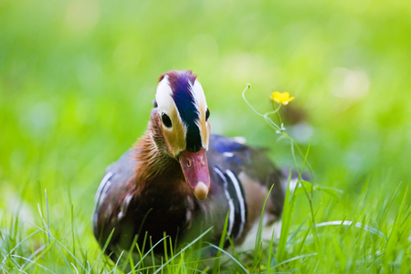 curiously: Mandarin duck in the grass looking curiously at the watcher Stock Photo