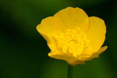 Marsh Marigold on the green background