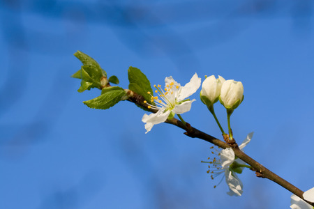 White cherry flower on the blue background