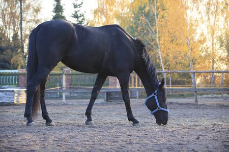 Beautiful black horse relaxing after training