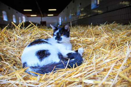 Black and white cat in a stable in a pile of straw Stock Photo