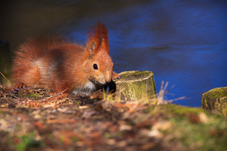 Little red eurasian squirrel in the park