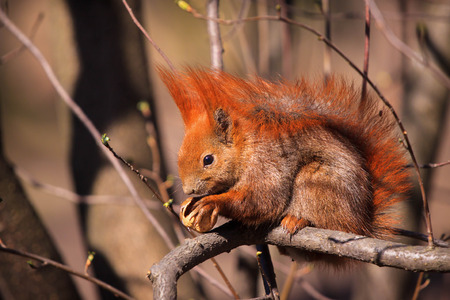 fluffy tuft: Cute little red eurasian squirrel on the branch