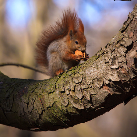 elusive: Cute little red eurasian squirrel on the branch