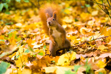 fluffy tuft: Little red eurasian squirrel during autumn Stock Photo
