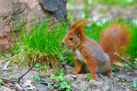fluffy tuft: Little red eurasian squirrel in the park