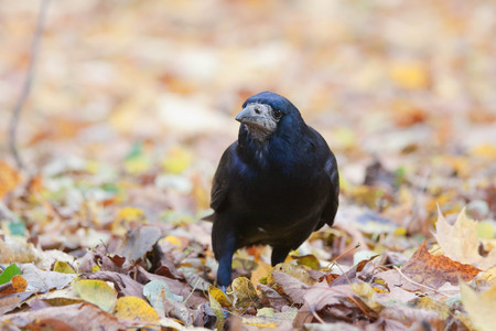 Rook standing amongst leaves in the park