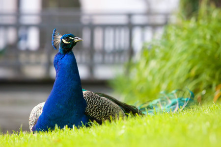 common peafowl: Male peacock sitting in the grass