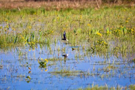 submerged: Bird on submerged area,  Biebrza swamps