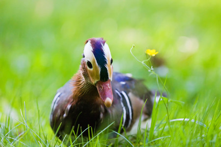 the watcher: Mandarin duck in the grass looking curiously at the watcher Stock Photo