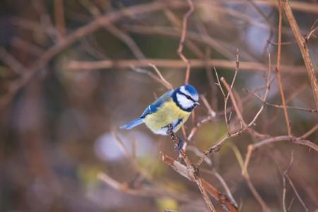 chickadee: Chickadee on the branch in winter Stock Photo