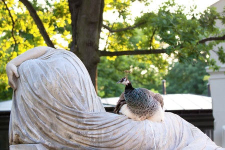 common peafowl: Female peacock sitting on a sculpture Stock Photo