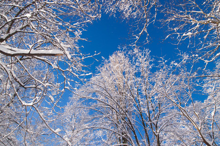 Snowy tree branches against blue sky after heavy snow fall in Warsaw Lazienki park during winter, Poland