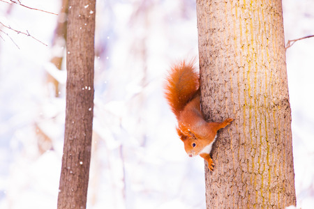 fluffy tuft: Cute little red eurasian squirrel in snowy park Lazienki, Warsaw, after heavy snow fall, Poland