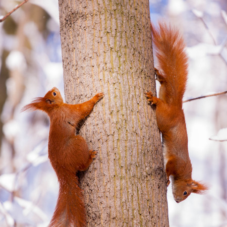 Pair of cute little red eurasian squirrel in snowy park Lazienki, Warsaw, after heavy snow fall, Poland