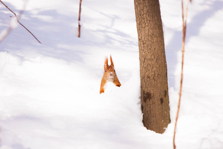 Cute little red eurasian squirrel in snowy park Lazienki, Warsaw, after heavy snow fall, Poland