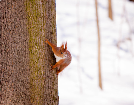 elusive: Cute little red eurasian squirrel in snowy park Lazienki, Warsaw, after heavy snow fall, Poland