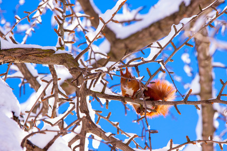 Cute little red eurasian squirrel sitting on a branch in snowy park Lazienki, Warsaw, after heavy snow fall, Poland Stock Photo