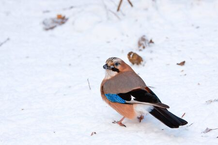 Jay sitting on the snowy ground