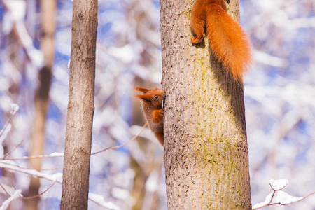 fluffy tuft: Pair of cute little red eurasian squirrel in snowy park Lazienki, Warsaw, after heavy snow fall, Poland