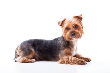 terrier dog: Cute dog lies on white background. Yorkshire Terrier