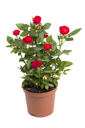 flower bunch: Roses in a flower pot isolated on a white background Stock Photo