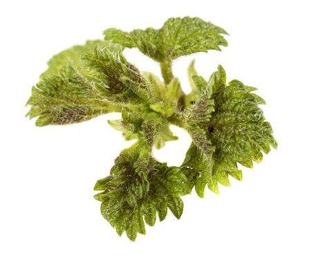 stinging  nettle: Stinging nettle (Urtica dioica) isolated over white background Stock Photo