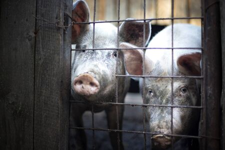 waiting convict: Two dirty pigs behind a fence