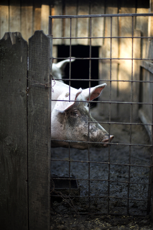 waiting convict: One dirty pig behind a fence Stock Photo