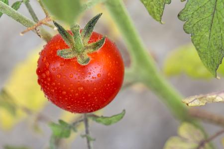 Cherry tomato on the vine. Lycopersicon esculentum philovita F1, family Solanaceae
